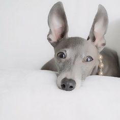 Italian Greyhound.  ( bad ears though :(...I'm an ear fanatic...not that I can't love a sight hound with bad ear carriage ...but the rose shape is best, better, perfect... not the stand up ear