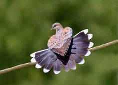 """The Turtle Dove: """"On the second day of Christmas, my true love gave to me Two Turtle Doves"""". Turtle Doves have been referenced all through history including the Bible. Pretty Birds, Love Birds, Beautiful Birds, Animals Beautiful, Cute Animals, Animals Amazing, Beautiful Artwork, Simply Beautiful, Funny Animals"""