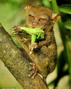 Moe gesture Innovation pessimistic catch the grasshopper tarsier dances in the air