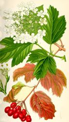 BRITISH TREES - A CHART OF TREES, LEAVES AND FRUIT