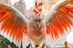 Galah Cockatoo