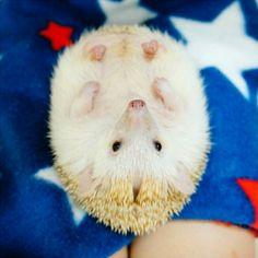 しかし、この世界の他のすべてのように、彼らは弱点を持っています。 | 19 Pictures Of Hedgehog Bellies That Prove Everyone Has A Soft Side