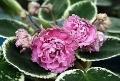 ЛЕ-МАДАМ ПОМПАДУР / LE-Madam Pompadur • Elena Lebetskaya • Standard • Very large pink extra-double pompoms. • Plain beautiful variegated rosette. • Currently have leaves down.