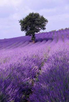Lavender field ~ France ~ Imagine how good it would smell to walk through that field...