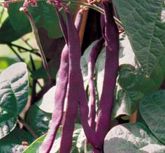 Purple Podded Pole bean: from The Ozarks    www.seedsavers.org