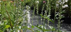Veronica - Icicles has been flowering since May