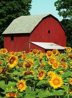 Midwestern sunflower farm, Michigan by Lori Sparkia