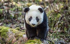 Scarica sfondi panda, zoo, 4k, simpatici animali, orsi, animali divertenti