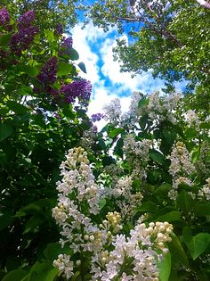 Syreeni lilac Lilac, Nature, Plants, Naturaleza, Syringa Vulgaris, Plant, Nature Illustration, Off Grid, Planets