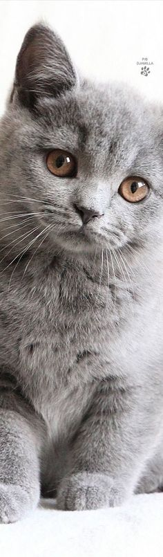 #BRITISH SHORTHAIR CAT dompict.com