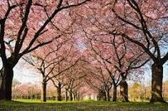 Where do cherry trees come from?  There are only a few mentions on record concerning cherry trees. This may be due to the fact that they do not ship well. There are suggestions that the cherry tree originated in Asia Minor near the Black Sea and the Caspian Sea.