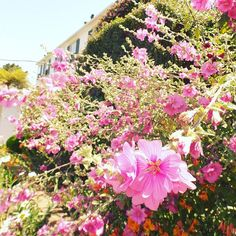 #colonialterrace #carmelbythesea #couldbethereforever #flowerstagram #carmellocals #montereybaylocals - posted by  https://www.instagram.com/iseultinsweetsorrow - See more of Carmel By The Sea, CA at http://carmellocals.com