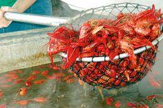 New Orleans Breaux Bridge, Louisiana: Breaux Bridge Crawfish Festival photo . New Orleans Louisiana, Louisiana Crawfish, Lafayette Louisiana, Louisiana Usa, Festival Photo, Food Festival, Breaux Bridge Crawfish Festival, Festivals In Louisiana, Louisiana Recipes