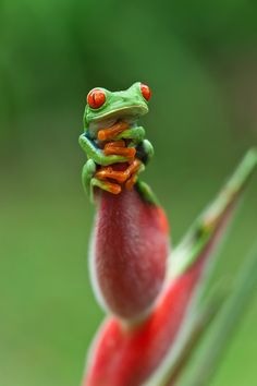 RED EYED TREE FROG BY MENNO DEKKER