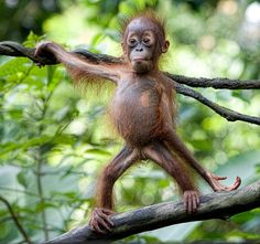 Baby orangutan posing in a tree—so homely, it's cute! Cute Funny Animals, Funny Animal Pictures, Cute Baby Animals, Animals And Pets, Primates, Beautiful Creatures, Animals Beautiful, Baby Orangutan, Cute Monkey