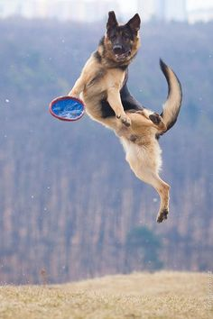 Wicked Training Your German Shepherd Dog Ideas. Mind Blowing Training Your German Shepherd Dog Ideas. Big Dogs, I Love Dogs, Cute Dogs, Dogs And Puppies, Doggies, German Shepherd Puppies, German Shepherds, Schaefer, Dog Rules