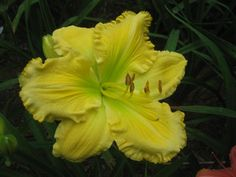 Daylily 'Butter Cream' (Whatley, 1998)  scape height	  	28 inches bloom size	  	7 inches bloom season	  	Midseason   ploidy	  	Tetraploid foliage type	  	Dormant fragrance	  	Fragrant bloom habit	  	Extended   bud count	  	15 branches	  	3   seedling #	  	Y-5430     Color: yellow self with green throat   Parentage: (Solar Music × Tet. John Allen)  bedmaker-photos1's image