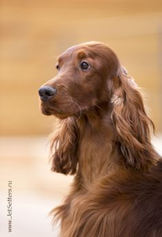 Irish Setter. We had two Irish setters when David was little. Their parents were field champions, so like field springers, they had less coat and feathering than a bench setter. Irish setters are not known to have such a distinct line between field and bench as springers and some can succeed in each other's competition and even champion in both, which is unheard of in springers.