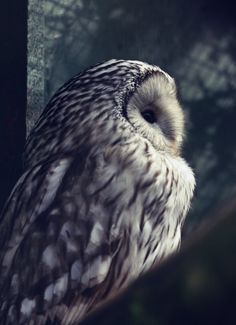 Ural Owl Wildlife Photography  Fine Art A4 Print by FSGPhotography