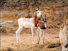 Photos Antilopes (Zoo de Doué la Fontaine)