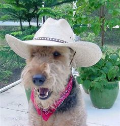 Rathbone an adorable Airedale, what a super cute picture, Rothbone is darling❤️ Chien Fox Terrier, Welsh Terrier, Fox Terriers, Wire Fox Terrier, Airedale Terrier, Funny Dogs, Cute Dogs, Doggies, Dogs And Puppies