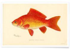 Goldfish - Vintage Art Archive - Premium poster