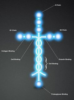 This is the molecule Laminin. Laminin is the protein that holds human beings together. Isn't it amazing that God would think so far in the future, and make the very thing that makes us think of Jesus, make and play a crucial role in how we are formed? 5 Solas, Images Of Christ, Colossians 1, Jesus Christus, My Jesus, King Jesus, Religion, Christen, Jesus Loves