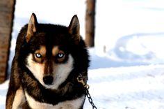 What a beautiful dog! it looks like a wolf hybrid!