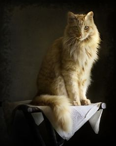 orange long haired kitty