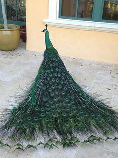 Spalding peacock