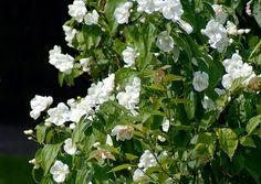 Pibeved/uægte jasmin med den stærkeste duft: 'Aureus' – enkle blomster og gullige blade. 1,5 meter høj og bred. 'Mont Blanc' – enkle blomster. 1-1,5 meter høj og bred. 'Phico' – enkle blomster 2-2,5 meter høj og bred. 'Schneesturm' – fyldte blomster. Højde 2, 5 meter, 2 meter bred. 'Silberregen' – enkle, små blomster. Omkring 1,5 meter høj og bred. Philadelphus x virginalis – let fyldte blomster med svingende duftstyrke fra moderat til stærk. 3-4 meter høj og 2-2,5 meter bred.