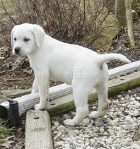 White Labrador Puppies And White Lab Puppies White Labrador Puppy Lab Puppies White Lab Puppies