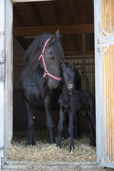 Proud Friesian mare with colt.