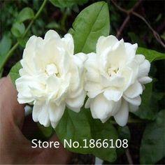 home & garden Free shipping 50 pieces white jasmine S…