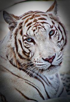 White Tiger Blue Eyes Staring Gazing Big Cat by desiraephotography