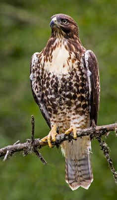 http://s3.amazonaws.com/birdfellow-production/content/photos/000/010/478/zoom/Red-tailed%20Hawk%20(6%20of%209)-7-21-13.jpg?1374505501