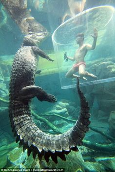 Brave tourists swim face-to-face with 16 FOOT saltwater crocodiles Great Whale, Saltwater Crocodile, Zoo Keeper, Australian Animals, Reptiles And Amphibians, Sea Monsters, Poses, Under The Sea, Pet Birds