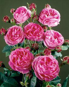 Розы Плетистые Луиз Одье