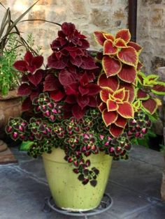 7 Are coleus plants poisonous? 8 Where does coleus plant grow? 9 What are the benefits of coleus plants? Companion plants Coleus is often used as ornamental plants because Container Flowers, Flower Planters, Garden Planters, Shade Plants Container, Fall Flower Pots, Fall Planters, Gnome Garden, Planters For Front Porch, Evergreen Container