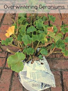 storing geraniums for winter