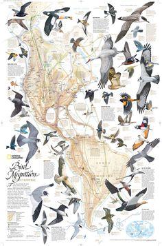 La mayoría de aves migran de un lugar a otro, recorriendo una distancia más o menos larga, en búsqueda de #alimento o un #clima más adecuado para ellas. En la imagen, algunas de las aves y sus #rutas_americanas_Norte-Sur.