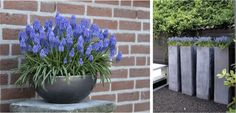 tall planters // Muscari in patio containers