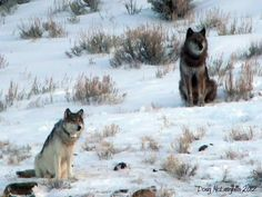 """A wolf known as to researchers was the alpha female of Yellowstone National Park's highly visible Lamar Canyon pack, and some wildlife watchers referred to her as a """"rock star. Alpha Female Wolf, Yellowstone Wolves, Husky, She Wolf, Endangered Species, Beautiful Creatures, The Outsiders, Wildlife, Animals"""