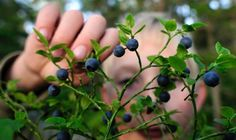 Forget those kicks on Route 66, get your thrills on blueberry hills all over Norway, Sweden and Finland! Researchers predict a recordbreaking year for blueberries.