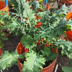 #kale growing in a self-watering container in the Learn & Grow test garden #TeachEverywhereGrowAnywhere learn-and-grow.org