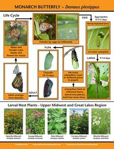 Save the Monarch with these plants - it's not all about the nectar. Host plants provide for all stages of development. Butterfly Garden Plants, Butterfly Feeder, Butterfly House, Monarch Butterfly, Butterfly Face, Butterfly Kisses, Planting Flowers, Monarch Caterpillar, Flying Flowers