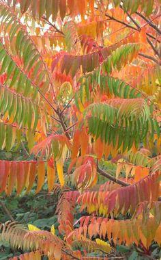 """Ob amerikanischer """"Indian Summer"""" oder deutscher """"Goldener Oktober"""" – die leuchtend rote oder gelbe Herbstfärbung der Bäume fasziniert nicht nur Dichter und Poeten. Haben Sie sich eigentlich schon mal gefragt, warum sich die Blätter im Herbst verfärben?"""