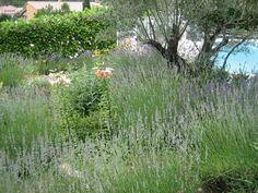 GardenDrum-AStewart-mediterranean-garden-lavender-olive-lily.jpg (800×600)