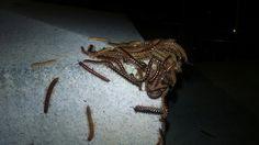 Centipede s at Smu.Photo by Stacey Bennett Sr