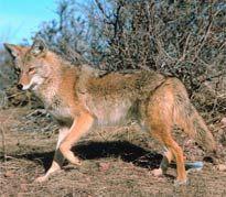 Coyotes in South Carolina